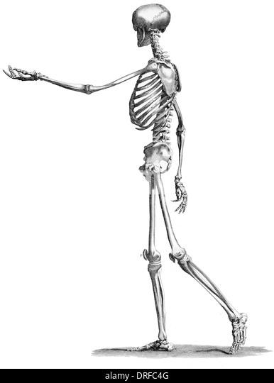 Human Skeleton Cut Out Stock Photos & Human Skeleton Cut ...