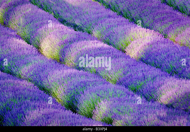 Rows of lavendar Purple Haze Lavender Farm Washington - Stock Image