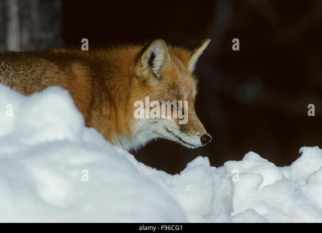 Red Fox (Vulpes vulpes) Adult is regarded as cunning but, many field observers believe it is extremely cautious - Stock Image