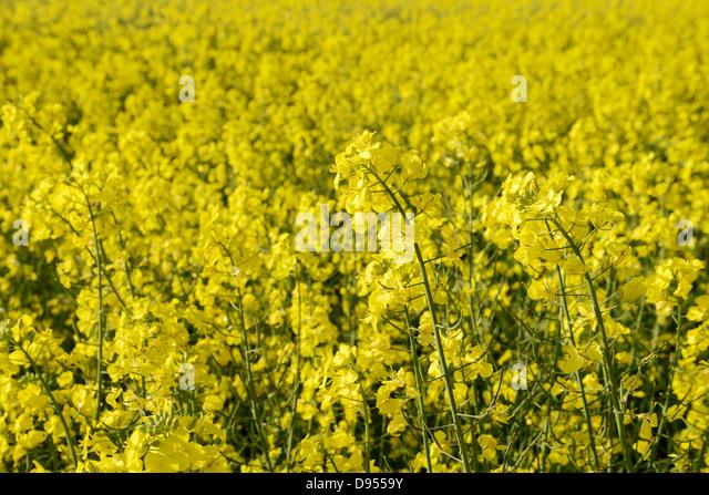 Field of Oil Seed Rape in flower - Stock-Bilder