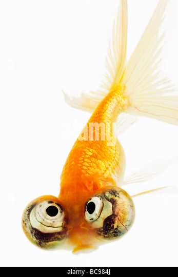 Celestial eyed gold fish - Stock Image