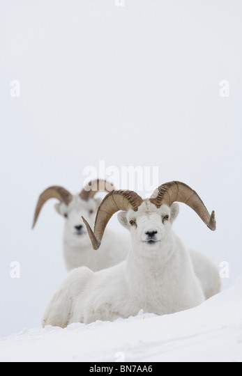 Two Dall Sheep rams bedded in snow on Sheep Mountain, Kluane National Park, Yukon Territory, Canada - Stock Image