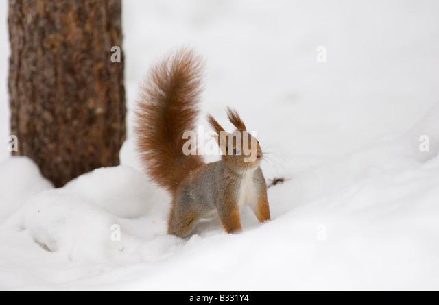 Red Squirrel Sciurus vulgaris Finland winter - Stock Image