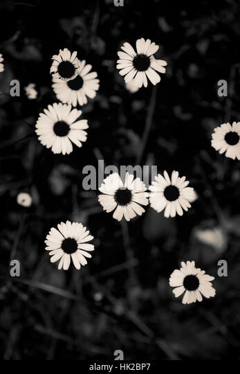 Top view of garden flowers. Black and white nature detail. - Stock-Bilder