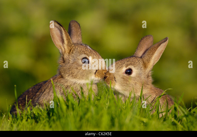 RABBIT Oryctolagus cuniculus  A pair of young rabbits, or kittens, briefly touch noses in a touching moment Norfolk, - Stock-Bilder
