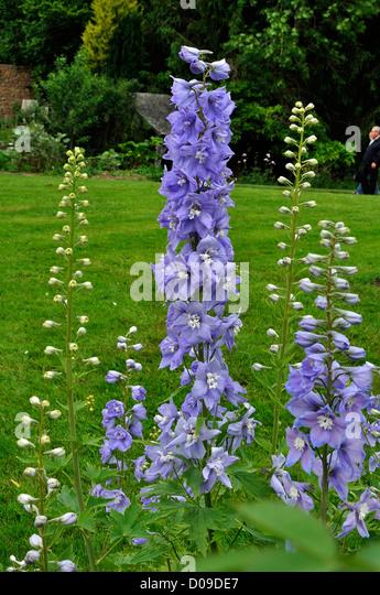 Delphinium Garden Stock Photos Amp Delphinium Garden Stock