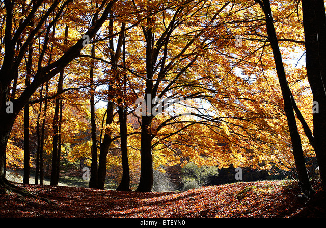 Beech trees showing magnificent Autumn colors in the Sibillini National Park,Le Marche,Italy. - Stock Image