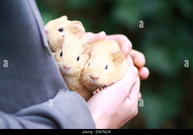 Little girl holding guinea pig in her arms - Stock Image