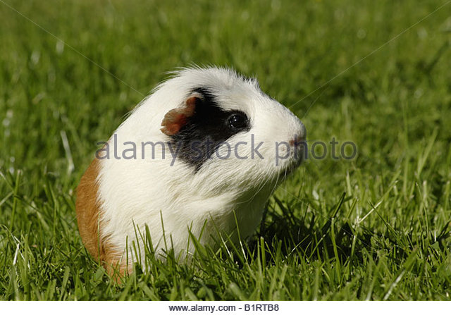 Guinea Pig or Cavy (Cavia porcellus) in a meadow - Stock Image