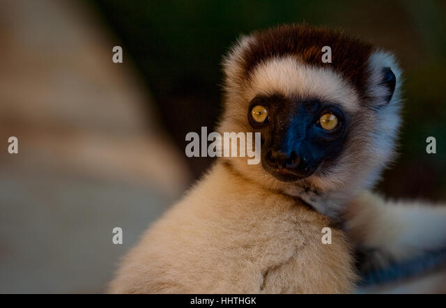 A very tame dancing Lemur decides to get a closer look at me - Stock Image