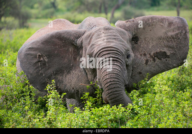 African elephant (Loxodonta africana), eating elephant with pricked up ears, Tanzania, Serengeti National Park - Stock Image