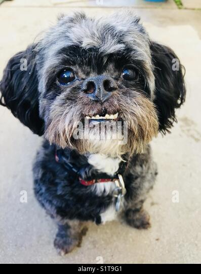 A small dog with an underbite. - Stock Image