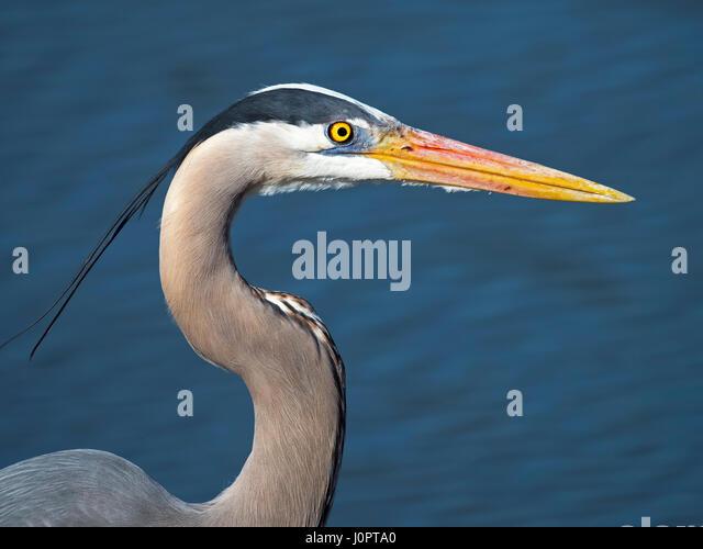 Great Blue Heron Close-up - Stock Image
