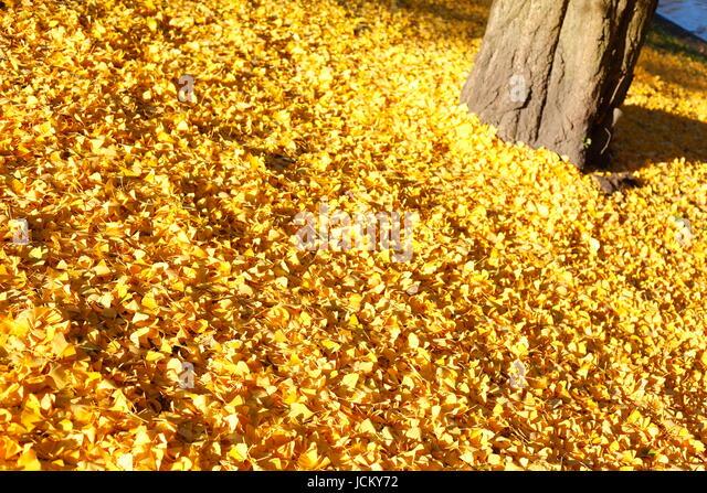 Yellow colorful autumn leaves and tree trunk in Park Wallanlagen in Autumn at Dusk, Bremen, Germany, Europe  I Weg - Stock-Bilder