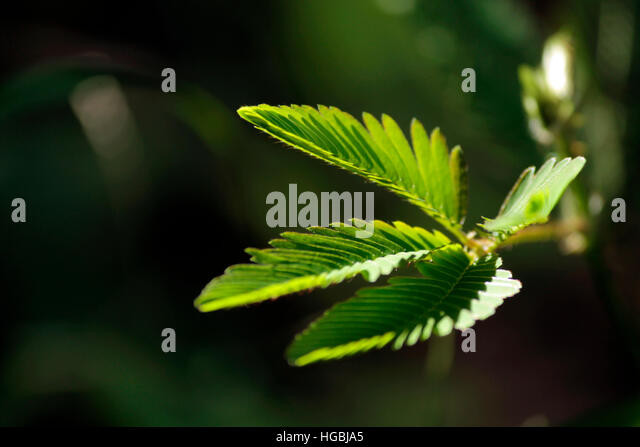 Touch me not, plant. leaf, withdraw, shy, - Stock Image