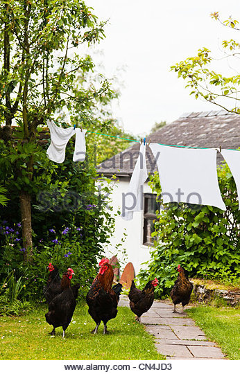 Free roaming chickens in garden - Stock Image