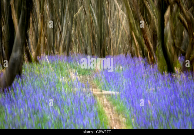 An impressionist view of spring bluebells in a Kent wood, United Kingdom. - Stock Image