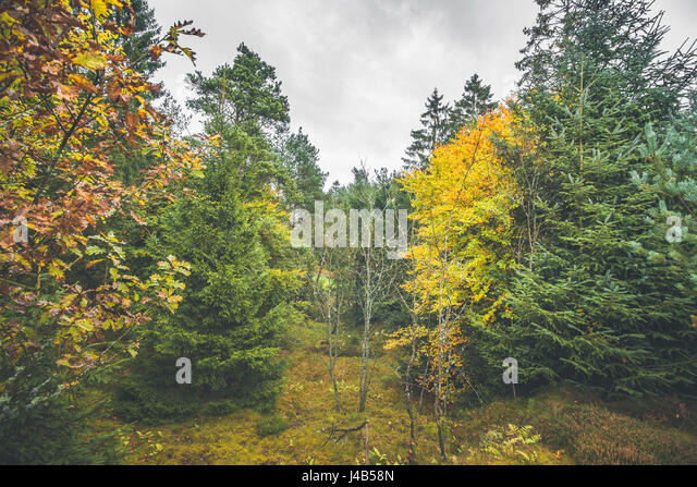 Autumn colors in a forest with pine trees and yellow leaves - Stock Image