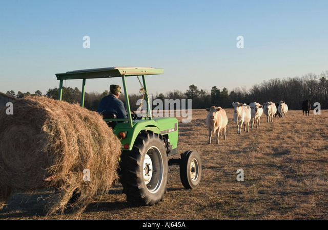 Taking Cattle Cows Stock Photos & Taking Cattle Cows Stock ...