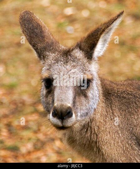 Closeup of the face/head of a kangaroo. - Stock Image