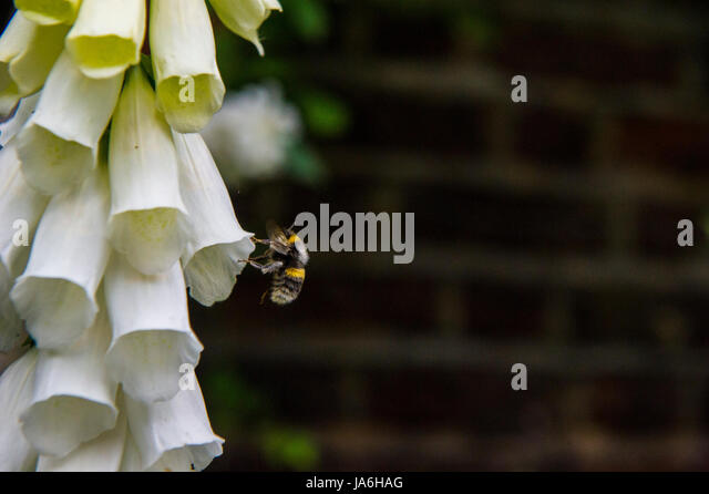 A bee pollinating - Stock Image