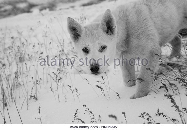 Greenland Sled Dog Puppy - Kalaallit Qimmiat - Stock Image