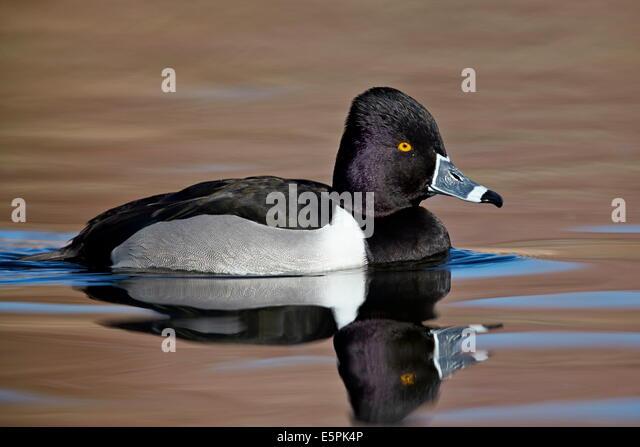 Ring-necked Duck (Aythya collaris) swimming, Clark County, Nevada, United States of America, North America - Stock Image