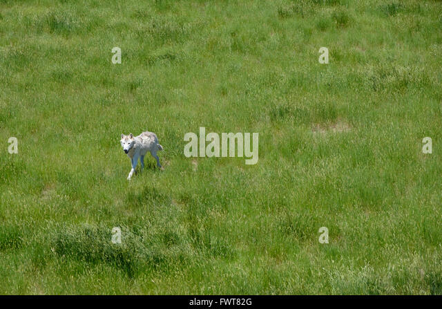 a-grey-wolf-roams-in-his-enclosure-at-th