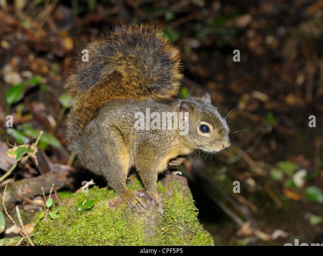 Montane squirrel (also known as Poas squirrel), Syntheosciurus brochus, Poas National Park, Costa Rica - Stock Image