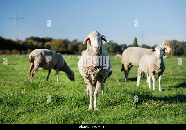 Germany, Sheep grazing in grass - Stock Image