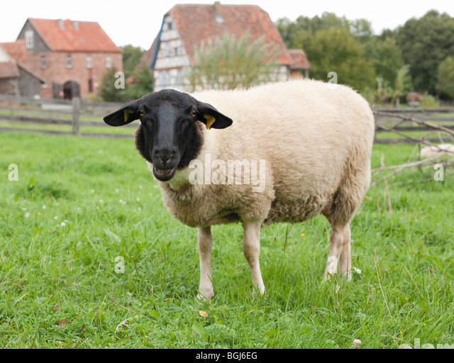 German Blackheaded Mutton on meadow - Stock Image