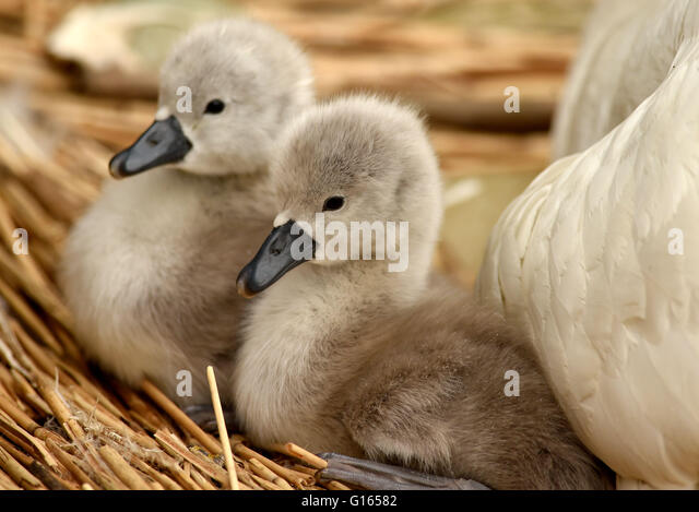 First cygnets of the year hatch at Abbotsbury Swannery in Dorset, Britain - Stock Image