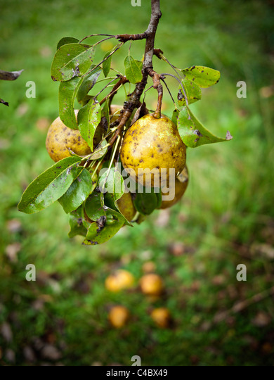 Organically grown pears on tree - Stock Image