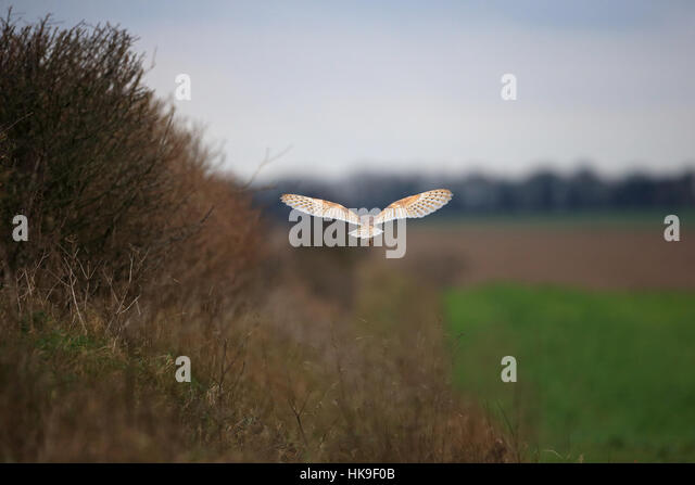 Barn Owl (Tyto alba)adult hunting  hedgerow & setaside back view Choseley Norfolk UK February 2016 - Stock-Bilder