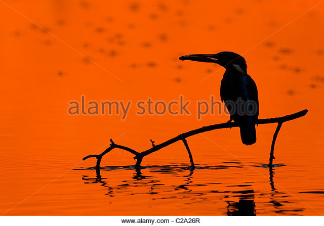 Adult male common kingfisher, Alcedo atthis, holding a fish at sunset. - Stock-Bilder