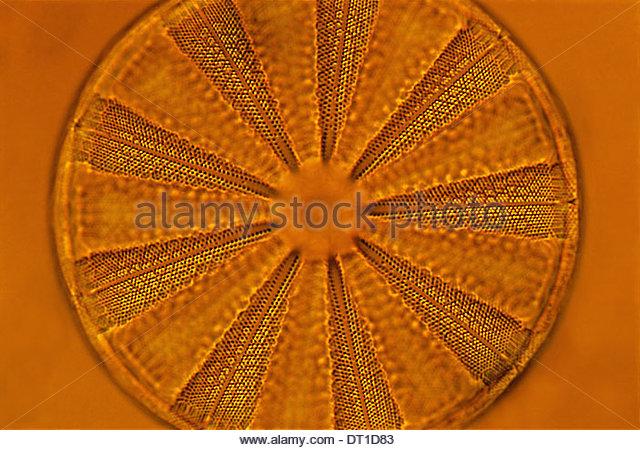 Harvard University Boston Massachusetts USA Diatom Farlow Herbarium Harvard University - Stock Image