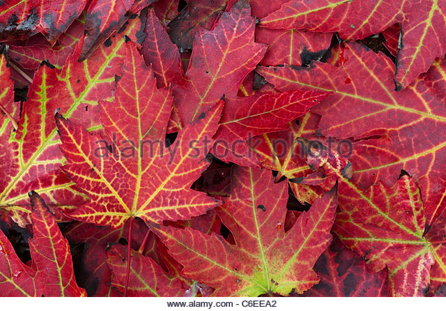 Japanese Maple leaves changing colour in autumn. Red Acer leaf pattern - Stock Image