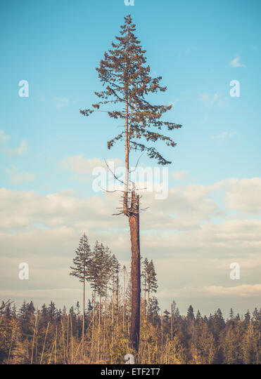 A young evergreen fir tree grows from the trunk of an older dead tree - Stock Image