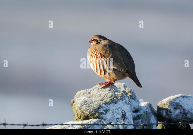 Red-legged partridge, Latin name Alectoris rufa, standing on a frosted stone wall - Stock Image