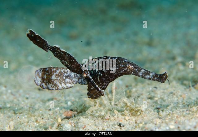 Pair of ghost pipefish, Nuweiba, Red Sea, Sinai, Egypt - Stock Image