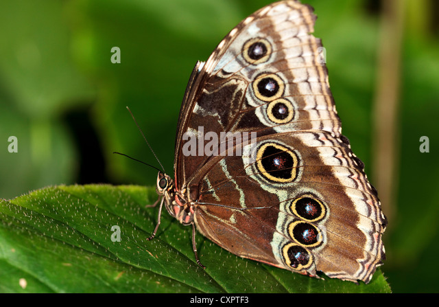 Blue Morpho Butterfly - Stock Image