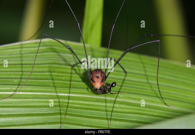 Harvestman (Opiliones), Arfak Mountains, West Papua, Indonesia - Stock Image
