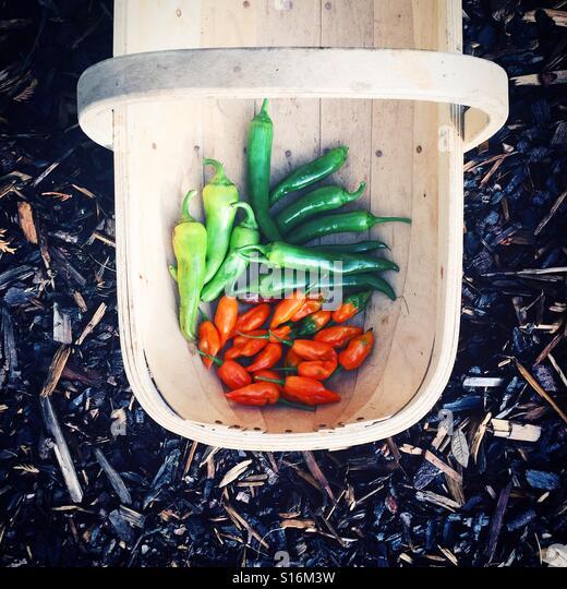 Basket of homegrown chillies - Stock-Bilder
