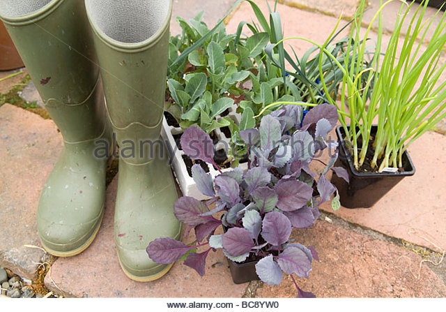 Wellington boots with vegetable seedling ready for planting - Stock Image