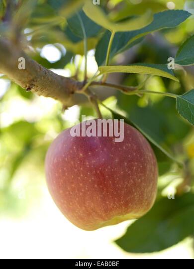 ripe apple growing on tree - Stock Image