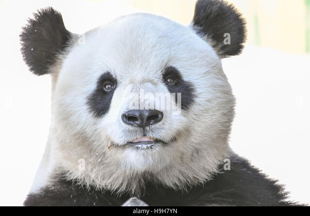 Yabuli, China's Heilongjiang Province. 24th Nov, 2016. Giant panda Si Jia plays at a panda house in Yabuli township, - Stock Image