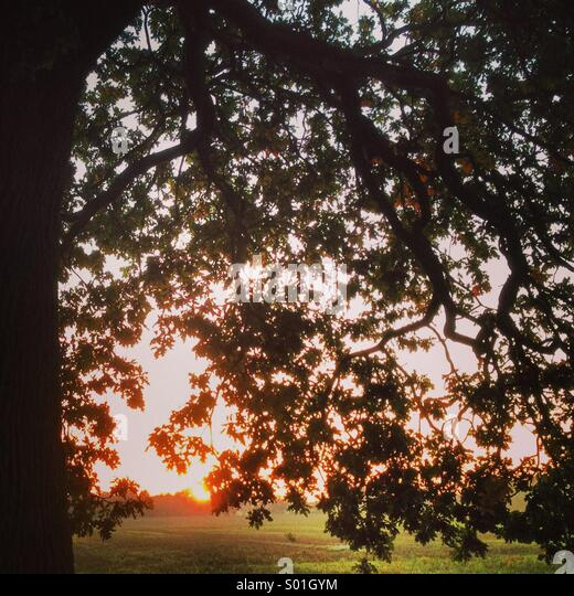 Sunset through oak tree branches - Stock Image