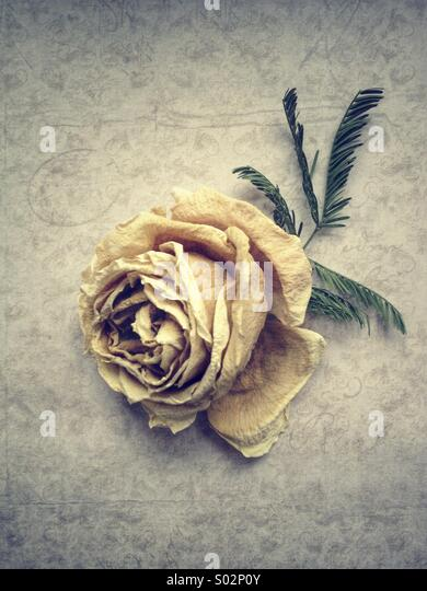Faded Rose - Stock Image