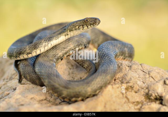 Adult dice snake (Natrix tessellata), Patara Ruins, Lycia, Lycian coast, Southwest Turkey - Stock Image
