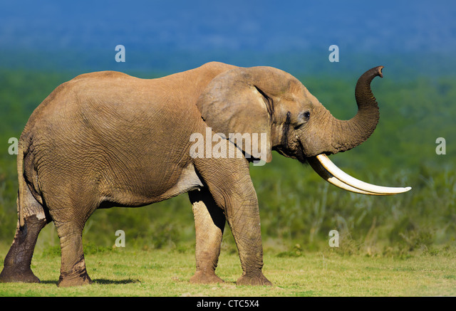 Elephant with large tusks smelling the air - Addo National Park - South Africa - Stock Image